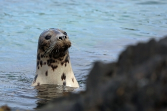 Seal at the Calf