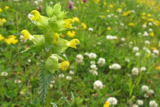 Hay meadow with yellow rattle