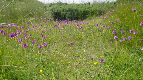 Pyramidal orchids at Cronk y Bing