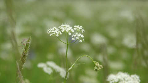 Pignut at Fell's Field